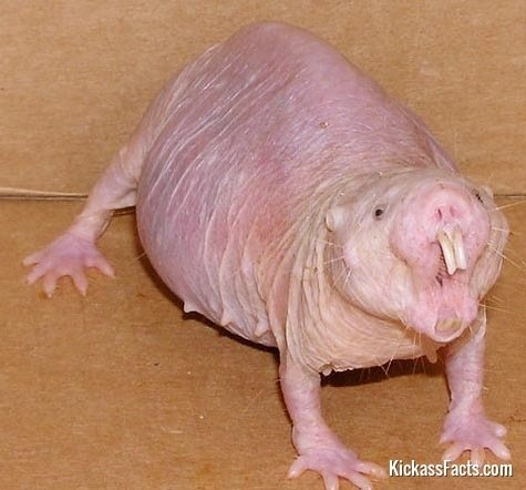 Naked Mole Rat-Animals That You Didn't Know Existed