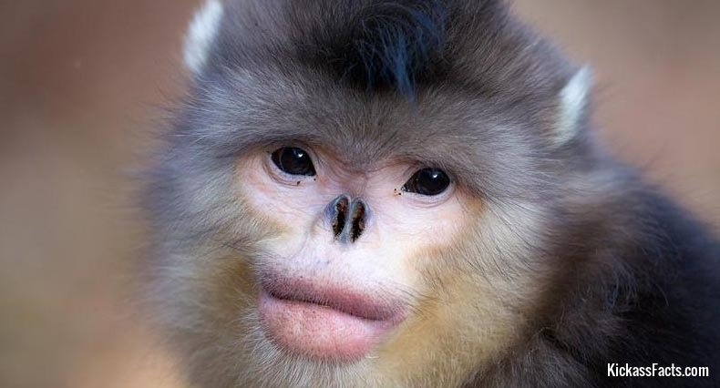 Snub-Nosed Monkey-Animals That You Didn't Know Existed
