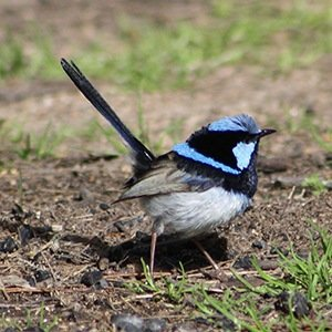 Superb fairy-wrens-Unbelievable Facts About Birds