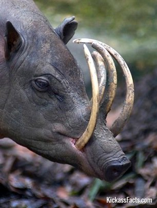 The Babirusa-Animals That You Didn't Know Existed