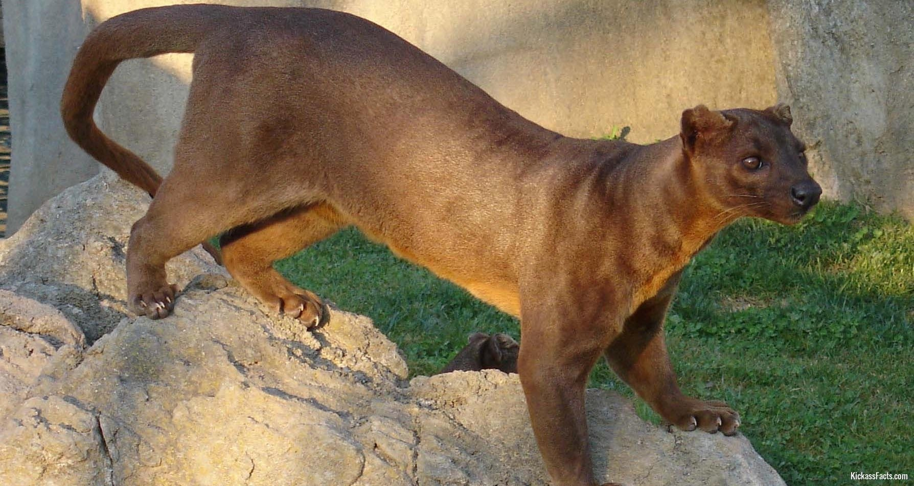 The Fossa1-Animals That You Didn't Know Existed