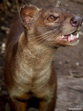 The Fossa2-Animals That You Didn't Know Existed