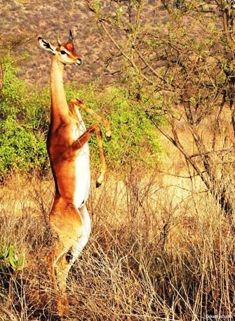 The Gerenuk2-Animals That You Didn't Know Existed