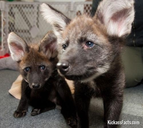 The Maned Wolf2-Animals That You Didn't Know Existed