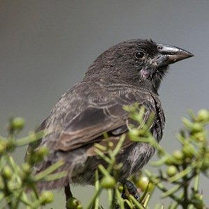 Vampire finch-Unbelievable Facts About Birds