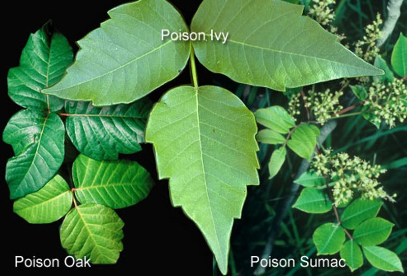21 Poison Ivy (Infographic)