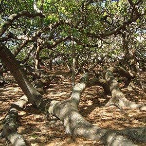 Natal Cashew Tree