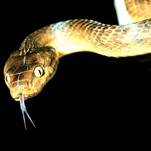 Brown tree snakes