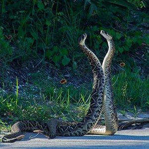 Rattlesnake fight