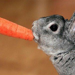 AK62NY Dwarf Rabbit