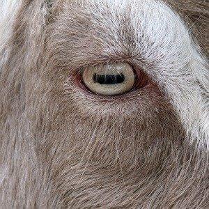 Goats' pupils