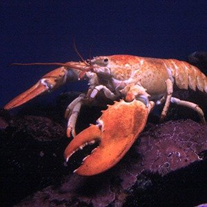 Male lobster