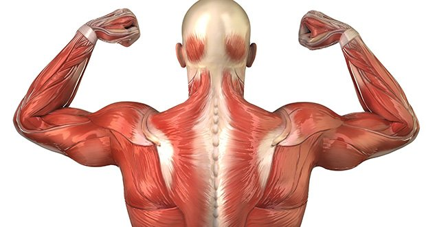 Image result for smallest muscle